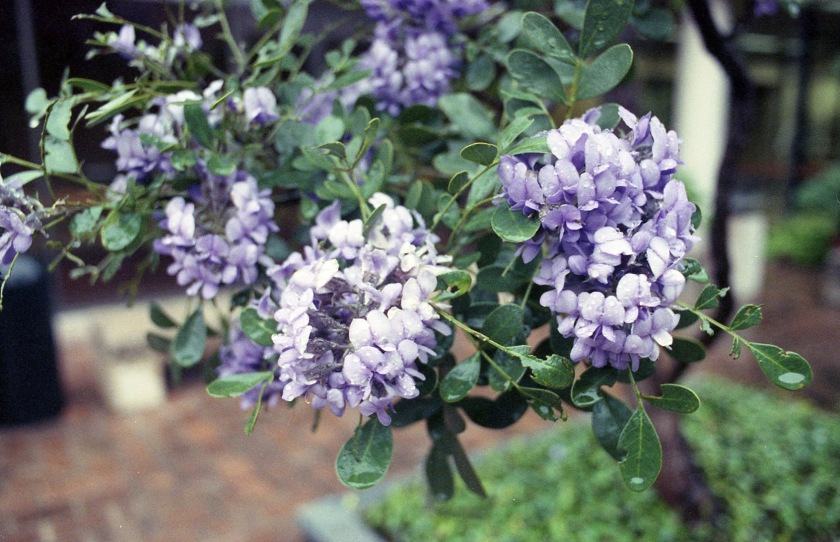 Mountain laurel in bloom, March 1992.